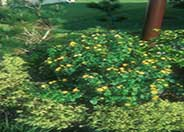 Yellow Bush Lantana