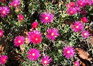 Trailing Ice Plant