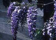 Wisteria, Cooke's Special