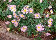Aster chilensis